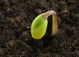 Wietzaadjes ontkiemen - SeedSpotter